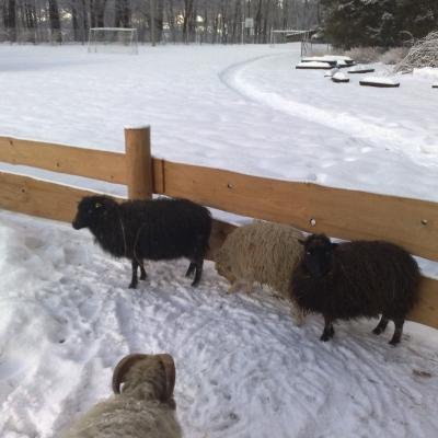 Naše ovečky